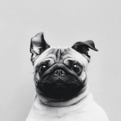 pug-chillin'